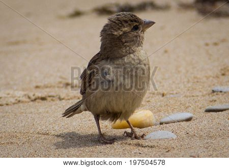 Sparrow on the sandy beach, brown bird looking to the side