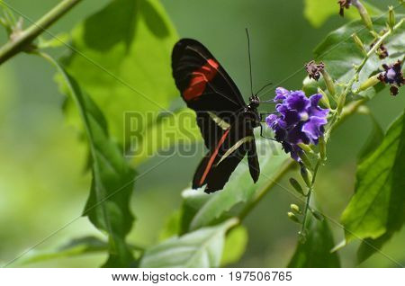 Butterfly garden with a bright postman butterfly on a purple flower.