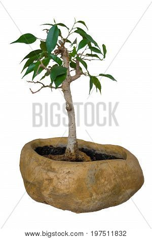 Ficus Benjamin bonsai in a beautiful clay pot isolated on white background. Home plant.