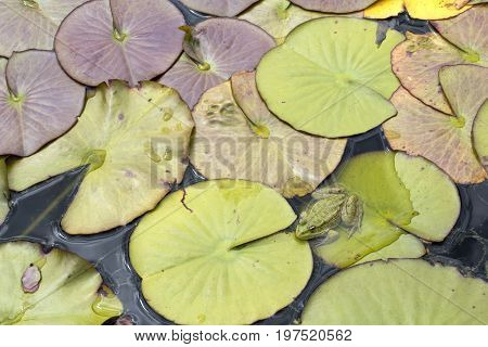 Green frog siting on a lily pad