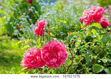 flowers of a blue forget me not pink roses have flowering in a garden on flower bed. colored flowers blossom in park
