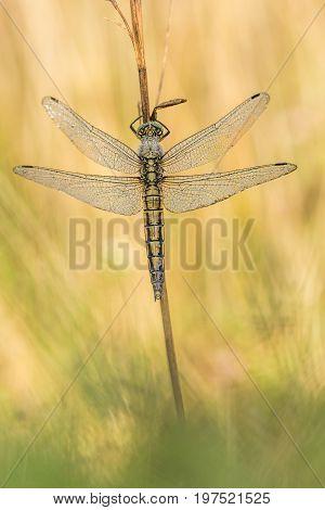 Beautiful nature scene with dragonfly Black-tailed skimmer (Orthetrum cancellatum) . Macro shot of dragonfly on the grass. Dragonfly in the nature habitat.