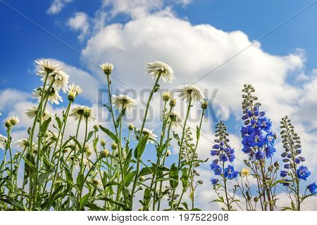 flowers of a white chamomileblue delphinium flowering in a garden on background of blue sky. colored flowers blossom in meadow