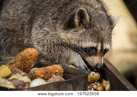 A cute raccoon while eating various fruit