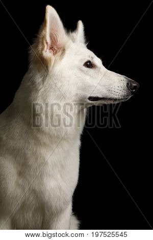 Portrait of White Swiss Shepherd Dog on Isolated Black Background, profile view