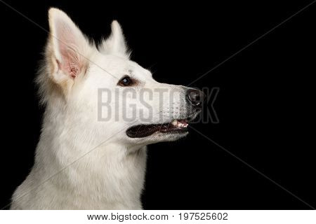 Close-up Face of White Swiss Shepherd Dog on Isolated Black Background, profile view