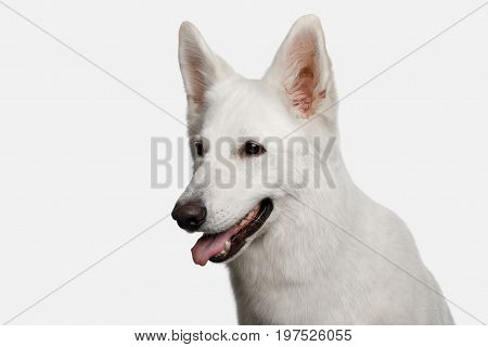 Portrait of Swiss Shepherd Dog Smiling on White background, profile view