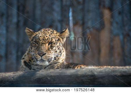 Far Eastern leopard strong fast wild animal