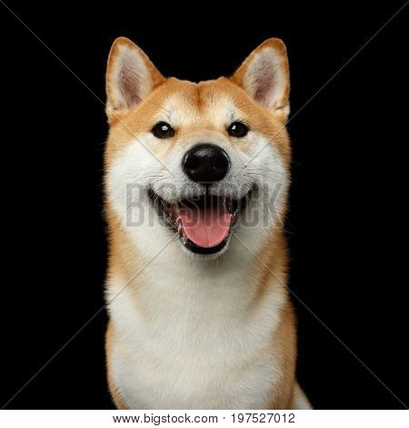 Portrait of Smiling Shiba inu Dog, Looks Happy, Isolated Black Background, Front view