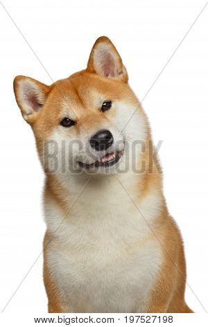 Cute Portrait of Smiling Shiba inu Dog on Isolated White Background, Front view