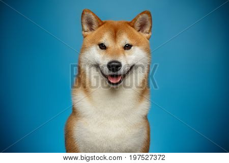 Portrait of Smiling Shiba inu Dog on Blue Background, Front view