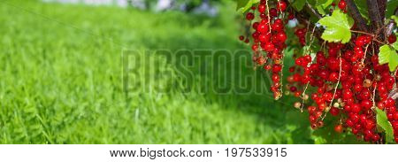 fresh berries of red currant on bush in orchard. redcurrant berries with green leaves close up panorama.