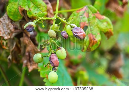 The leaves and unripe berries of grapes are affected by fungal disease downy Mildew false mildew ( of plasmopara viticola )