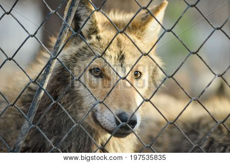 Close-up of grey wolfs with yellow eyes looking from wire netting sunny day outdoor
