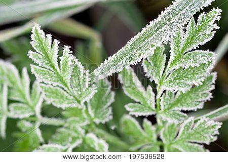background from a green grass covered with hoarfrost. frosty meadow leaves frozen