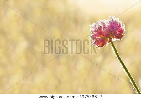 pink flower of a clover is covered with hoarfrost close up. freeze wild flower on meadow