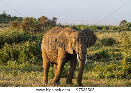 Huge elephant. Savanna. Amboseli national park. Kenya, Kilimanjaro mountain.