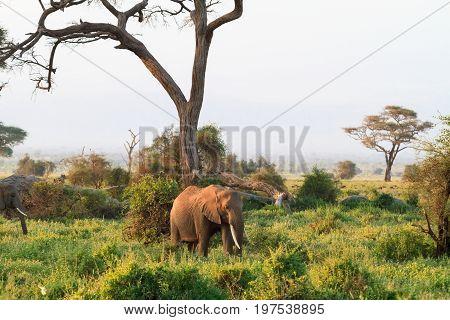 Elephants. Savanna of Amboseli. Kenya, Kilimanjaro mountain.