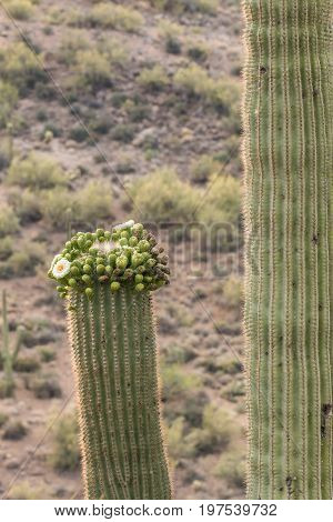 a saguaro cactus blooming in the spring in the Arizona desert
