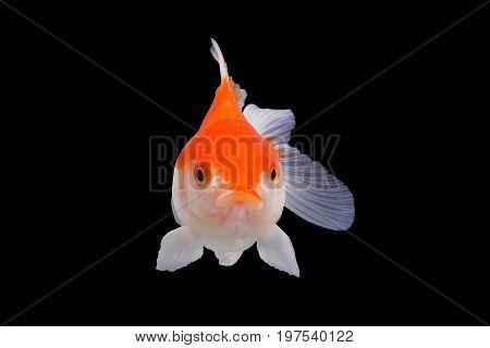 Straight face  White Goldfish isolated on black background