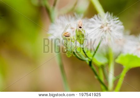 Closeup of green jumper spider on the flower
