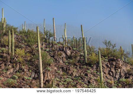 saguaro cactus dot the scenic landscape of the Arizona desert