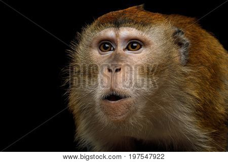 Close-up Portrait of Angry Long-tailed macaque or Crab-eating on Monkey Isolated Black Background