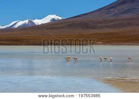 Laguna Canapa in Altiplano a salt lake Bolivia