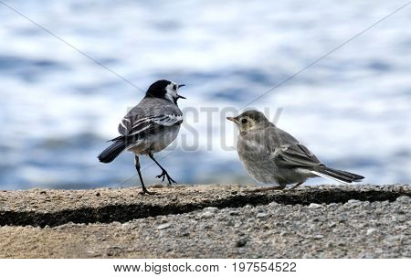 Wagtail Teaches Chick