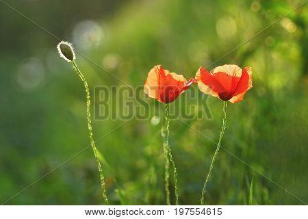 Beautiful Flowering Poppy In Green Grass In Field. (papaveraceae)