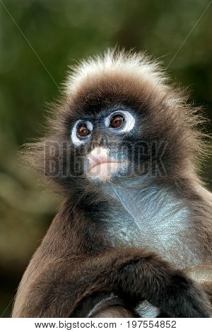 Portrait of a spectacled langur monkey (Trachypithecus obscurus)