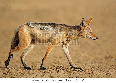 A black-backed jackal (Canis mesomelas) in natural habitat, Kalahari desert, South Africa