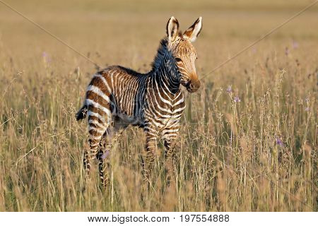 Cape mountain zebra (Equus zebra) foal, Mountain Zebra National Park, South Africa