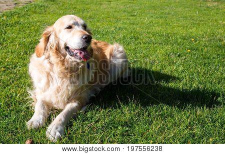 Golden Retriever lying on the green lawn