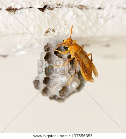 The wasp sits on an aspen. macro