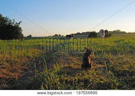 Small brown doggy in a Latvian (Baltic) meadow