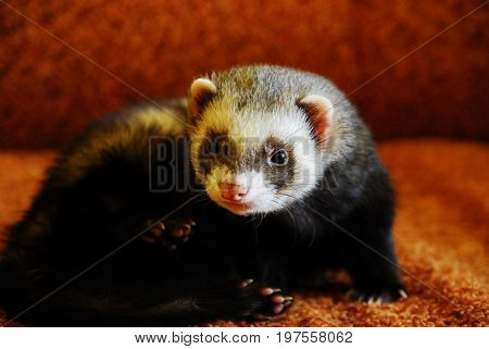 Ferret (mustela putorius furo) on a sitting on a sofa bed with orange background