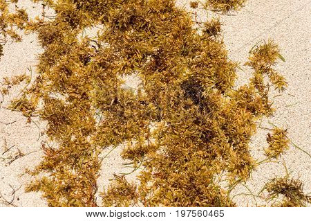 Large Quantities Of Sargassum Seaweed Lay Ashore At The