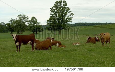 A group of Hereford cows and calves relaxing in a lush pasture.