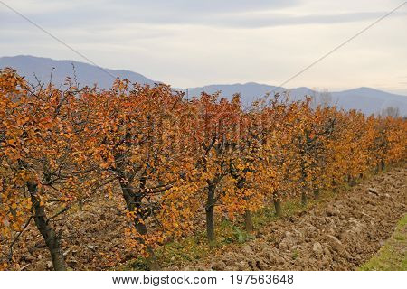 Fall At Sour Cherry Orchard 2
