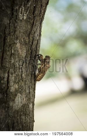 The cicada's skin sheds and climbs the trunk of a tree.