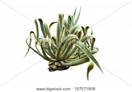 The Agave americana isolated on white background.