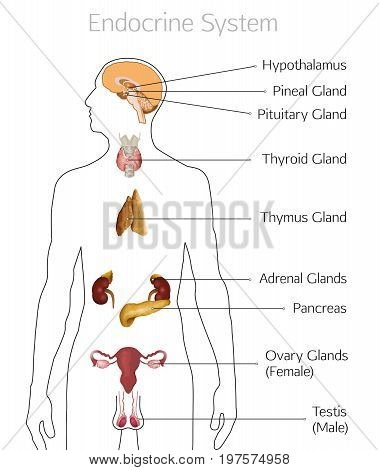 Male endocrine system. Human anatomy. Human silhouette with detailed internal organs. vector illustration isolated on a white background.