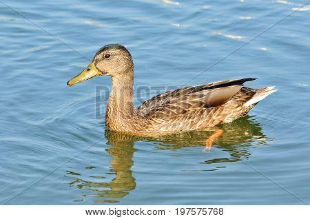 Mallard - bird of the duck family detachment of waterfowl.