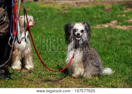 Two of beautiful Chinese Crested dogs on the grass