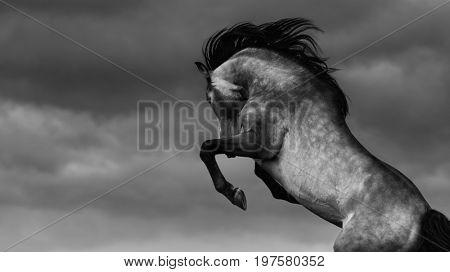 Purebred Andalusian horse rear on nature background. Black-and-white photo with place for text.