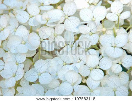A close up photo of bright white hydrangea petals