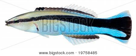 Cleaner Wrasse Fish. Labroides Dimidiatus