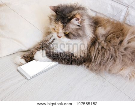 Fluffy cat playing with smartphone, putting a paw down it. Family pet with white bushy breast and long whisker interests in people's new technology