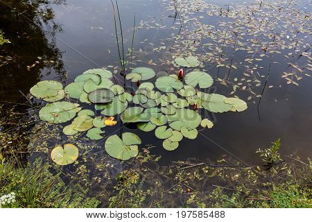 Waterlily Grows In A Wildly Overgrown Pond